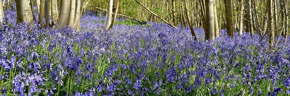 Crabbles Wood Bluebells